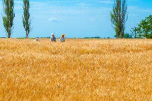 Kornfeld mit blauen Himmel